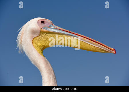 zoology, birds (Aves), Great White Pelican (Pelecanus onocrotalus), portrait, next to Pelican Point, W, Additional-Rights-Clearance-Info-Not-Available - Stock Photo