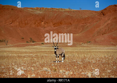 zoology, mammal (mammalia), gemsbok (oryx gazella) in scanty landscape, Godwana Namib Park, next to Se, Additional-Rights-Clearance-Info-Not-Available - Stock Photo