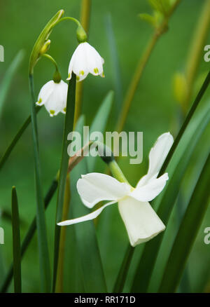 Narcissus 'Ice_wings' and Leucojum - Stock Photo