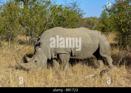 zoology, mammal (mammalia), Southern white rhinoceros (Ceratotherium simum simum), Balule game reserve, Additional-Rights-Clearance-Info-Not-Available - Stock Photo