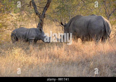 zoology, mammal (mammalia), Southern white rhinoceros (Ceratotherium simum simum), mother with calf, B, Additional-Rights-Clearance-Info-Not-Available - Stock Photo