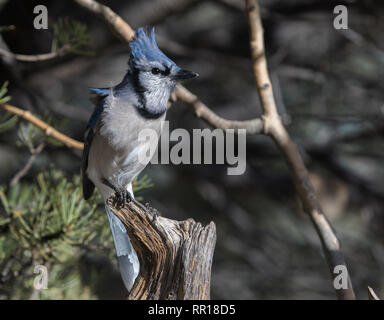 A blue jay sits atop a weathered stump in Cheyenne, Wyoming - Stock Photo