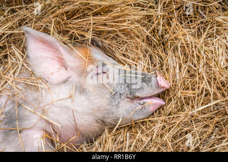 Close-up of pink pig with muddy nose sleeping on straw with a smile on it's face - Stock Photo
