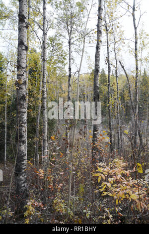 Aspen trees and bushes after a brief autumn snow squall in Prince Albert National Park, Saskatchewan, Canada. - Stock Photo
