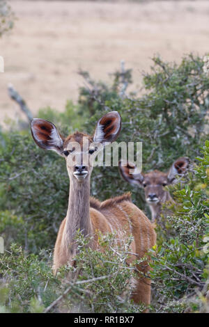 Greater kudus (Tragelaphus strepsiceros), young, standing behind thorny shrubs, alert, Addo National Park, Eastern Cape, South Africa, Africa - Stock Photo