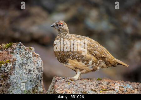 Male rock ptarmigan (lagopus muta / lagopus mutus) in summer plumage. Sudhurland, Iceland.