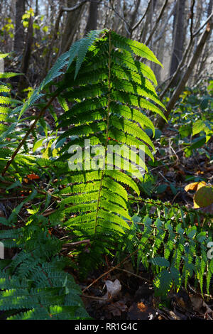 Long green bracken fern leaf, backlit by the sun in a wood, highlighting the spores on the underside of the leaves - Stock Photo
