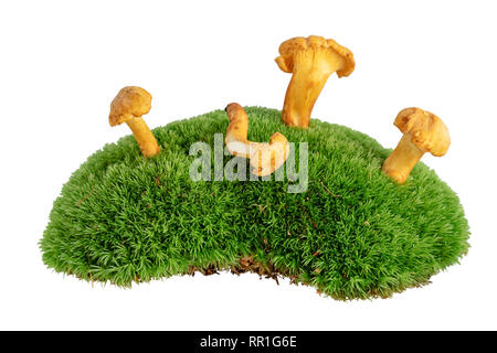Chanterelle mushrooms on mossy undergrowth isolated on white - Stock Photo