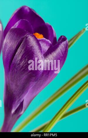 Crocus flowers on a green background closeup - Stock Photo