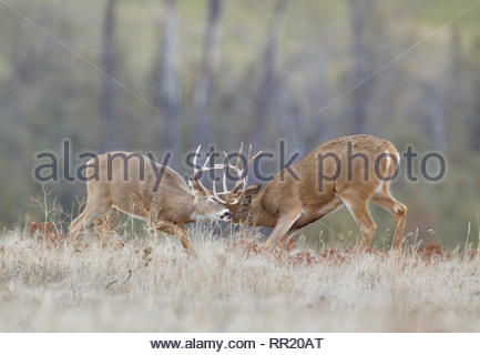 Whitetail Deer - two bucks spar, which is mock fighting, in preparation for the upcoming rut - Stock Photo