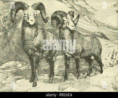 . Adventures with animals and plants. Biology. < xv J^^.l^^..^^^^...J^^iJ^^Ssi Fig. 133 Black bear, (national parks, canada). Fig. 134 Bighorn niotintain sheep. (American MUSEUM OF natural HISTORY). Please note that these images are extracted from scanned page images that may have been digitally enhanced for readability - coloration and appearance of these illustrations may not perfectly resemble the original work.. Kroeber, Elsbeth, 1882-; Wolff, Walter Harold, 1901-. Boston : D. C. Heath - Stock Photo