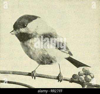 . Adventures with animals and plants. Biology. J- Fig. 31 Nests of the cliff swallow. Fig. 30 Chickadee. Please note that these images are extracted from scanned page images that may have been digitally enhanced for readability - coloration and appearance of these illustrations may not perfectly resemble the original work.. Kroeber, Elsbeth, 1882-; Wolff, Walter Harold, 1901-. Boston : D. C. Heath - Stock Photo
