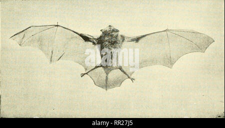 . Adventures with animals and plants. Biology. Fig. 19 This picture of a brown bat shows how the 7He?nbranes attached to body and legs are stretched out by the long finger bones. (AMERICAN MUSEUM OF NAT- URAL history). Please note that these images are extracted from scanned page images that may have been digitally enhanced for readability - coloration and appearance of these illustrations may not perfectly resemble the original work.. Kroeber, Elsbeth, 1882-; Wolff, Walter Harold, 1901-. Boston : D. C. Heath - Stock Photo
