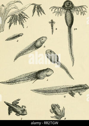 . The advancement of science. Occasional essays & addresses. Natural history. A CHAPTER IN DARWINISM 19 The frog's egg first gives rise to a little aquatic creature with external gills and a tail—the tadpole— which gradually loses its gills and its tail and acquires in their place lungs and four legs (Fig. 2), so as now. Fig, 2.—Tadpoles and young of the Common Frog. 1, Eeceutly hatched (twice natural size) ; 2 and 2a, same enlarged to show the external gills ; 3 and 4, later stages with gill-slits covered by a membrane leaving only the spiracle (see Fig. 16) as an exit for the respired wa - Stock Photo