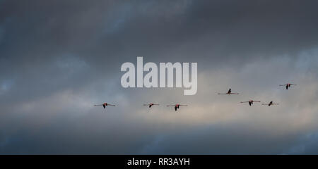 a flock of flamingo flying over the Camargue wetlands in Provence France - Stock Photo