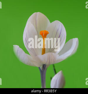 White crocus flower on green decorative background. Web banner. - Stock Photo