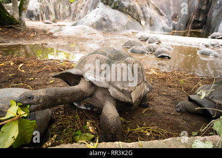 The Aldabra giant tortoise (Aldabrachelys gigantea), from the islands of the Aldabra Atoll in the Seychelles, is one of the largest tortoises in the w - Stock Photo