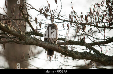 The tawny owl or brown owl (Strix aluco) is a stocky, medium-sized owl commonly found in woodlands across much of Eurasia. Its underparts are pale wit - Stock Photo