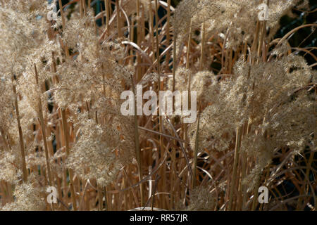 macro view of dried stalks and seeds of reed-grass karl foerster in the spring sun just before the cut, dried calamagrostis acutiflora karl foerster i - Stock Photo