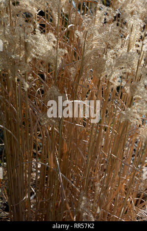 dried stalks of reed-grass karl foerster in the spring sun just before the cut, dried calamagrostis acutiflora karl foerster in late winter with many  - Stock Photo