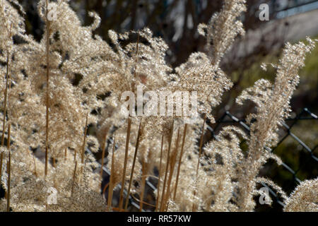 dried calamagrostis acutiflora karl foerster in late winter with many seeds on it, ornamental grass karl foerster with brown dried stalks - Stock Photo