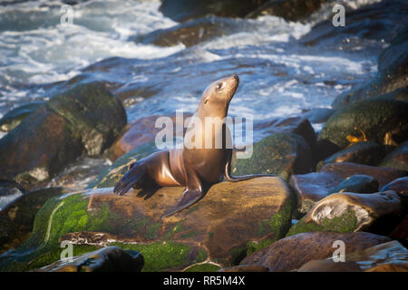 Female California sea lion (Zalophus californianus) sunbathing on the rocks near La Jolla Cove in San Diego - Stock Photo