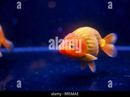 Lion head oranda goldfish in the aquarium - Stock Photo