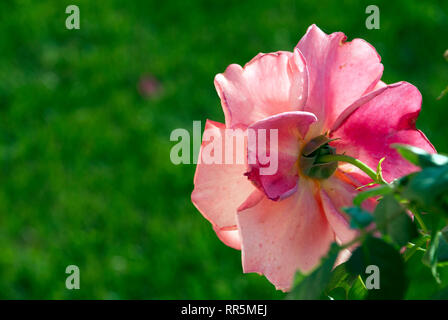 rose on a blurred background, spring, summer - Stock Photo