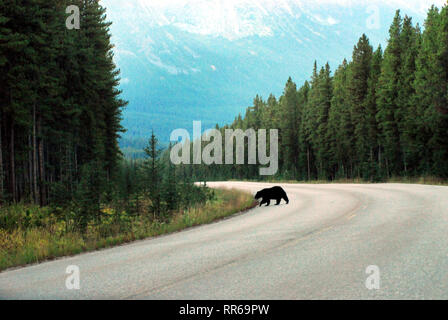 Driving through the gorgeous mountains in Jasper National Park, Canada had the added delight of a Black Bear crossing the road. Note- Shot through the - Stock Photo