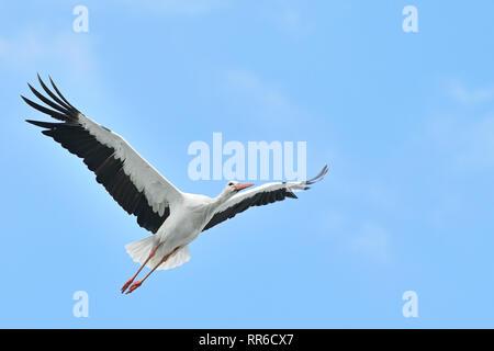 white stork flying on blue sky - Stock Photo