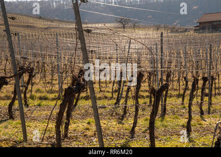 Vineyards with vines ready after pruning in spring - Stock Photo