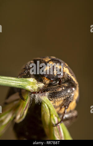 Portrait shot of a Light colour Varied carpet beetle Anthrenus verbasci holding tightly on a green plant tilted and is about to fall - Stock Photo