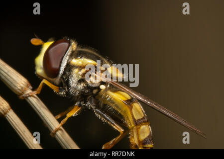 Hover fly, flower fly, or syrphid fly mimicking a bee sitting on dry branch. Hover fly climbing up a branch - Stock Photo