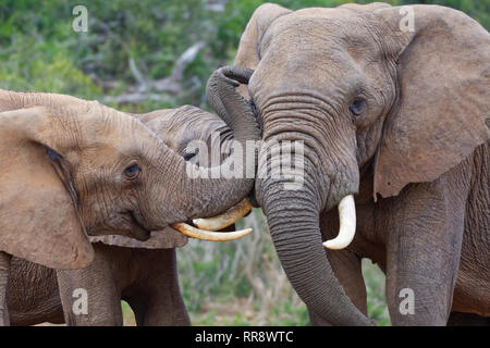 African bush elephants (Loxodonta africana), three males playing fight, Addo Elephant National Park, Eastern Cape, South Africa, Africa
