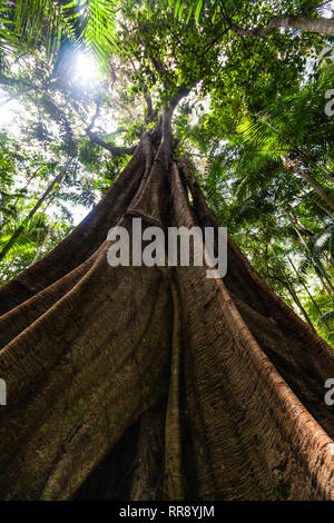 Looking up at the sun and fig tree with huge roots in wild natural rainforest environment - Stock Photo