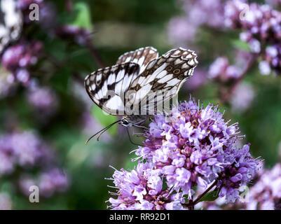 Butterfly.Marbled White (Melanargia galathea) feeding on wild marjoram (Origanum vulgare).Southwest France. - Stock Photo