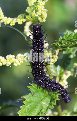 Butterfly.Peacock (Inachis io).Larva or caterpillar on stinging nettle (Urtica dioica). - Stock Photo