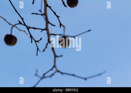 Autumn silhouettes of leave less branches against the blue sky - Stock Photo