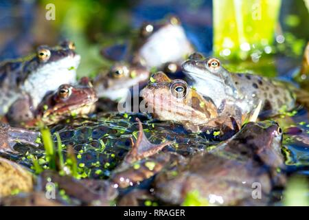 Hailsham, UK. 25th Feb 2019. Masses of Common frogs (Rana temporaria) congregate today among piles of spawn in Hailsham, East Sussex, UK. Credit: Ed Brown/Alamy Live News - Stock Photo