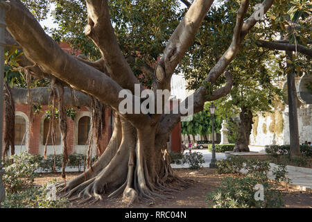 Ficus macrophylla, known as Moreton Bay fig or Australian banyan, is large evergreen tree of family Moraceae. Big banyan ficus with its buttress roots - Stock Photo