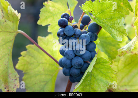 botany, vine, Blauer Portugieser bunch of grapes in the Siefersheimer vineyard, Rhine-Hesse, Germany, Additional-Rights-Clearance-Info-Not-Available - Stock Photo