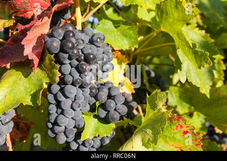 botany, Blauer Portugieser bunch of grapes in the Siefersheimer vineyard, Rhine-Hesse, Germany, Additional-Rights-Clearance-Info-Not-Available - Stock Photo