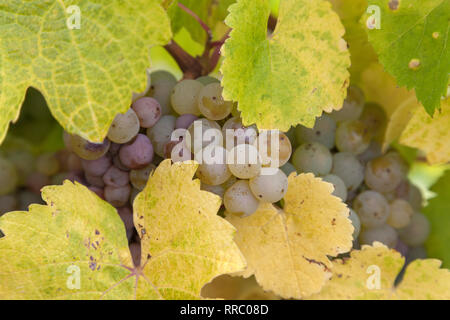 botany, riesling, grapes in the Upper Middle Rhine Valley, Hesse, Germany, Additional-Rights-Clearance-Info-Not-Available - Stock Photo
