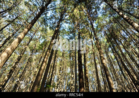 Cedar forest in Fuji City, Japan. Wide angle view from below against blue sky. Horizontal shot. - Stock Photo