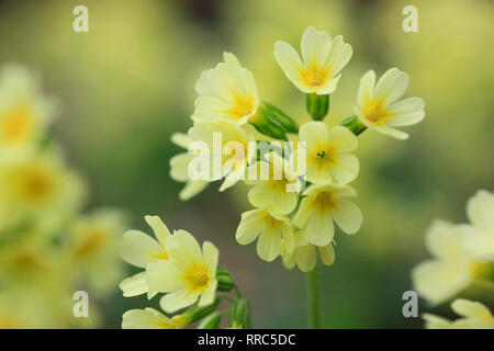 botany, cowslip, Primula veris, Switzerland, Additional-Rights-Clearance-Info-Not-Available - Stock Photo