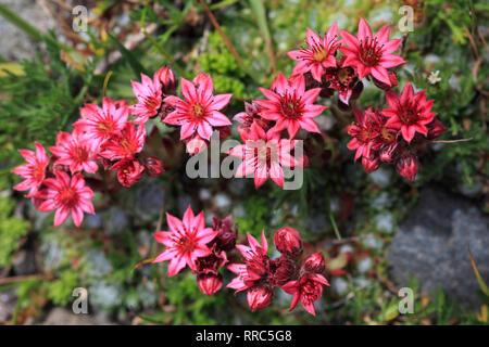 botany, cobweb houseleek, Sempervivum arachnoideum, Switzerland, Additional-Rights-Clearance-Info-Not-Available - Stock Photo