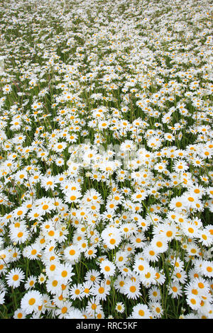 botany, marguerite, Leucanthemum vulgare, oxeye daisy, Additional-Rights-Clearance-Info-Not-Available - Stock Photo