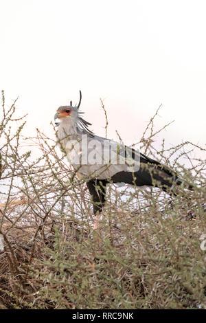 Secretarybird (Sagittarius serpentarius) in Kenya, Africa - Stock Photo