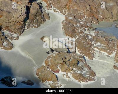 New Zealand sea lion (Phocarctos hookeri) breeding colony at Sandy Bay, Enderby Island, Auckland Islands archipelago, New Zealand. Photographed in Mar - Stock Photo