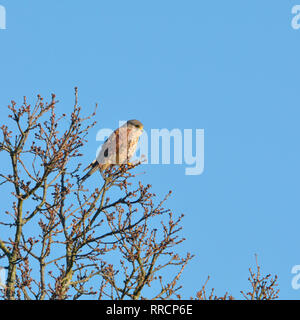 Common Kestrel (Falco tinnunculus - European kestrel, Eurasian kestrel, or Old World kestrel) Male, perching in a tree, Kent, UK, February - Stock Photo